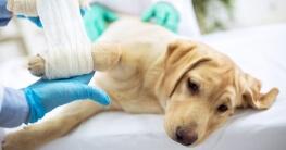 Verletzter Labrador Welpe