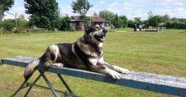 Johnny auf einer Hunderampe auf dem Hundeplatz